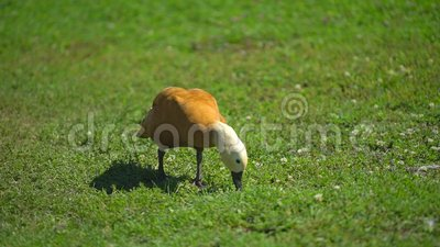 Свободная утка ряда в ферме в деревне, идя свободно на животное ранчо птица на озере фермы обрабатывающ землю, птица земледелия видеоматериал