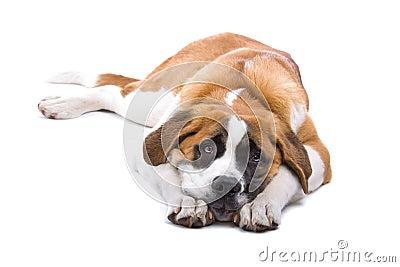 святой собаки bernard