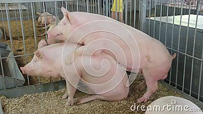 Онлайн секс с свиньй