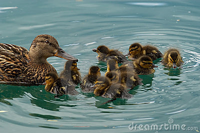 семья утки