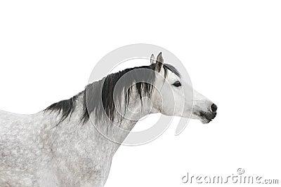 серая изолированная лошадь