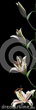 Серия Врем-упущения лилии