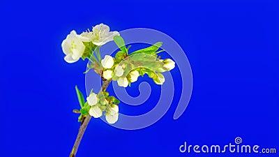 Сердце вишни цветет FullHD видеоматериал