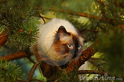 сибиряк кота