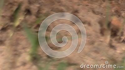 Сигнал-в, сигналят вне съемки фокуса шкафа оголтелых муравьев вползая через насыпь грязи при птицы чирикая на заднем плане сток-видео