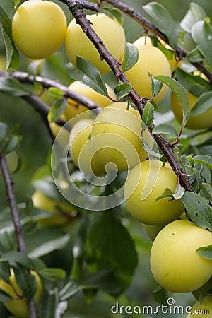слива вишни