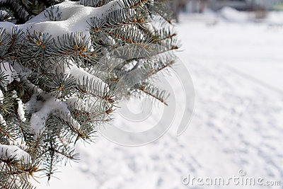 Снег зимы на сосне