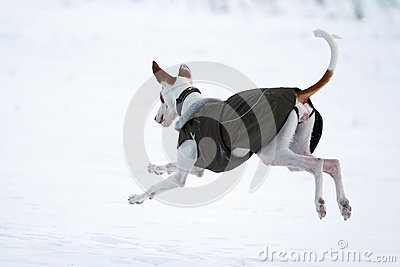 Собака гончей Ibizan