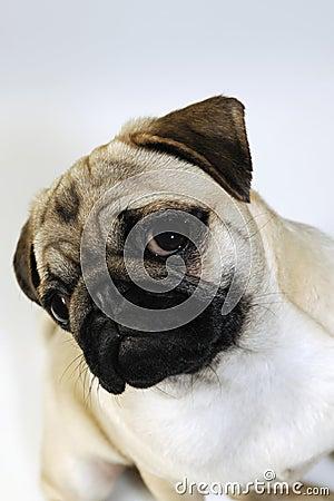 Собака мопса, портрет щенка