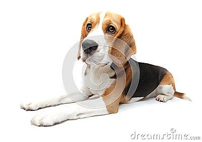 собака beagle