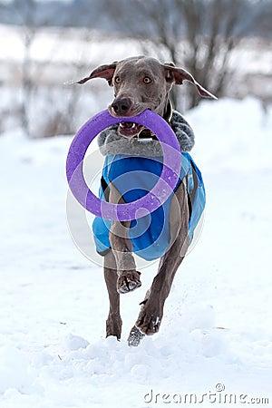 Собака Weimaraner