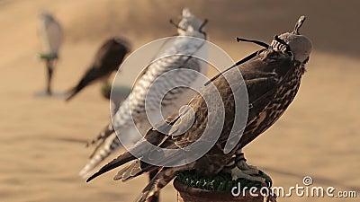 Соколы в пустыне, Дубай сток-видео