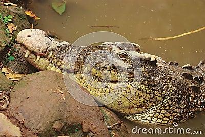 соленая вода крокодила