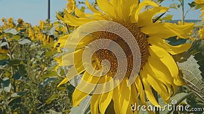 Солнцецвет на солнечном дне акции видеоматериалы