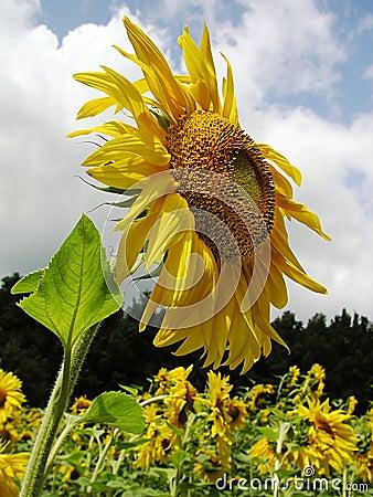 солнцецвет 3