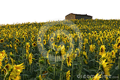 солнце дома цветка поля
