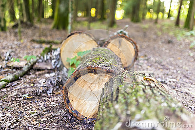 Спиленный ствол дерева