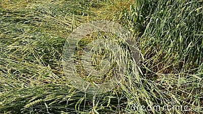 Сплющите поле пшениц после шторма лета в ферме акции видеоматериалы