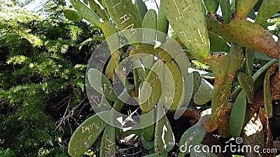 Средиземноморская флора вблизи горного побережья Кактус видеоматериал