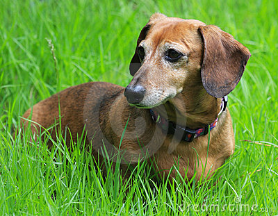 старший dachshund