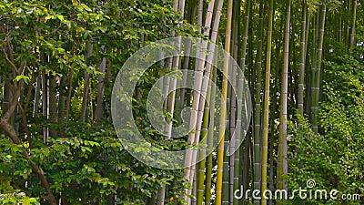 Стенд в Bamboo роще сток-видео