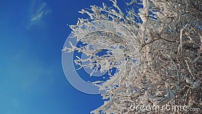 Сухой замороженный вяз в снеге зимнего дня дерева ветвей льда в ландшафте слепимости солнца солнечного света снега красивом сух сток-видео