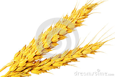 Сouple of ears of wheat.Isolated over white.