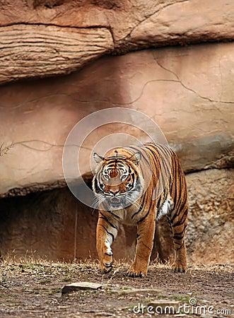 тигр Бенгалии преследуя