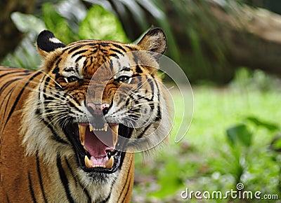 тигр реветь