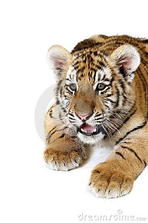 тигр сибиряка новичка