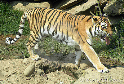 тигр prowl