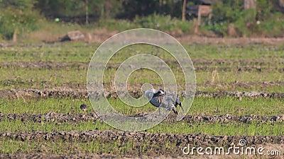Типичные перелетные птицы в Таиланде и Юго-Восточной Азии акции видеоматериалы