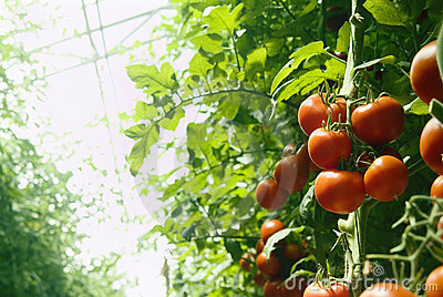 томаты парника