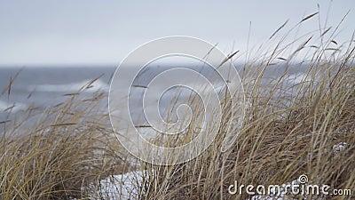 Тонкая пляж-трава развевая в ветре во время шторма зимы видеоматериал