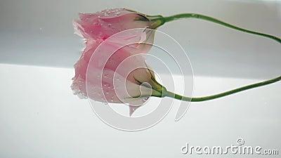 Тонкий розовый цветок, погруженный в водяные пласты, отражающиеся на поверхности воды, которая колеблется Закрыть представление акции видеоматериалы