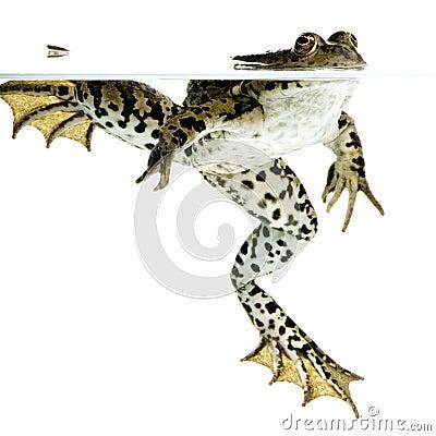 торцовка лягушки