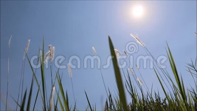 Трава, которая раздувается ветром видеоматериал