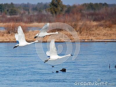 Трио лебедя тундры