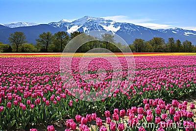 тюльпаны поля