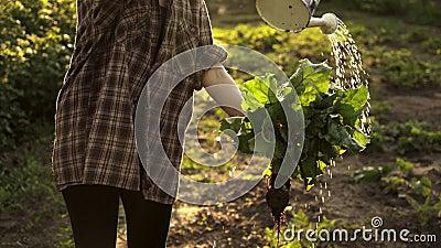 Удерживание девушки в сборе рук свекл Пук стирки фермера свекл с водой на поле органической фермы в свете захода солнца сток-видео