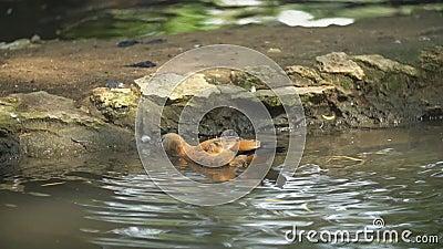 Утка плыла в пруду видеоматериал