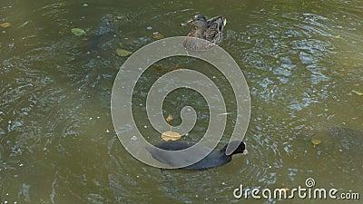 Утки и рыбы едят еду видеоматериал