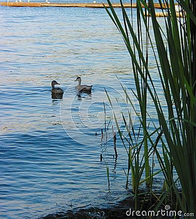 утки пар наслаждаясь озером