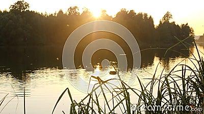 Утки плавают в пруде Красивая природа парка с одичалыми птицами Красивый заход солнца около воды 4K видеоматериал