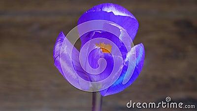 Фиолетовый blossoming цветка акции видеоматериалы
