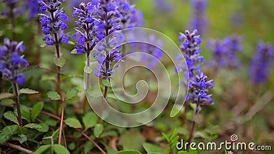 Фиолетовые цветки Lysimachia в зеленой траве Флора Черногории сток-видео