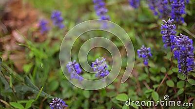 Фиолетовые цветки Lysimachia в зеленой траве Флора Черногории акции видеоматериалы