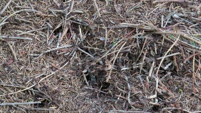 Холм деревянных муравьев в Австрии муравьи идя вокруг с иглами и небольшими камнями акции видеоматериалы