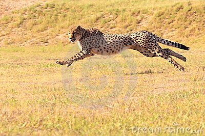 ход гепарда быстрый