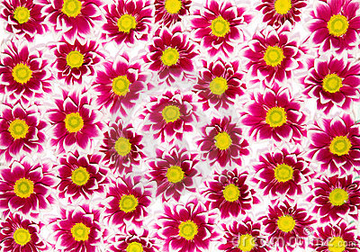 хризантемы пунцовые